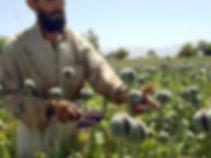 opium-poppies-afghanistan_4.jpg