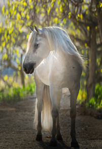 Andalusian Horse in spring