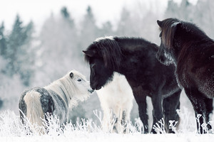 Black Icelandics and a Shetland Pony