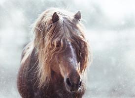 Finnhorse in snow