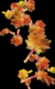 kisspng-autumn-leaves-autumn-leaf-color-