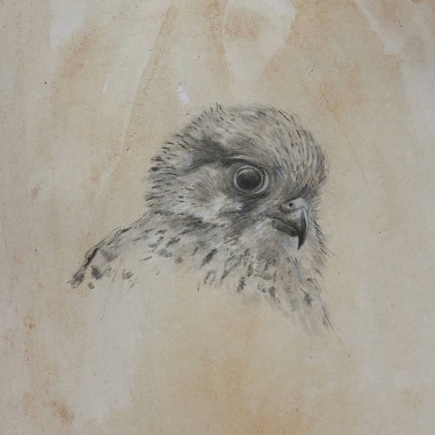 Juvenile Kestrel in pencil