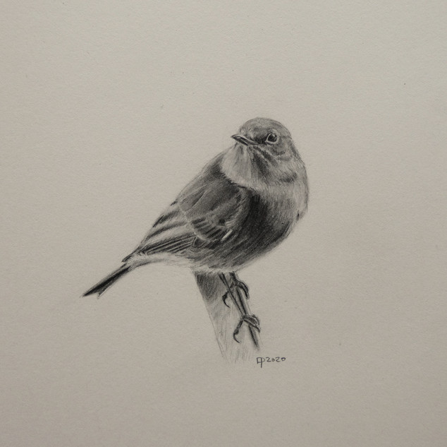 Black Redstart in pencil