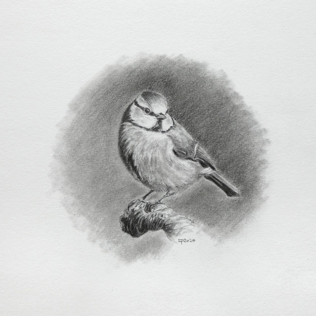 Blue Tit in pencil