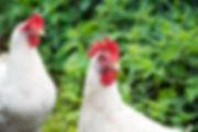 Stavordale chicken pic.jpg