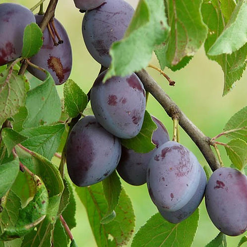 25cl Plum Fruit Juices