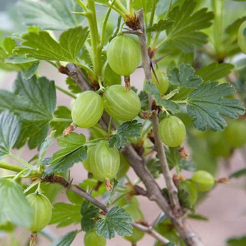 25cl Gooseberry Fruit Juices
