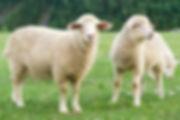 Stavordale lamb2 pic.jpg