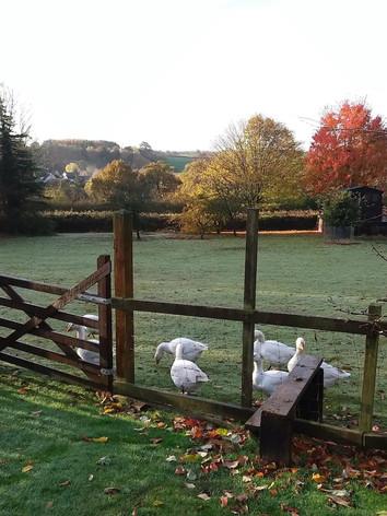 Geese in paddock