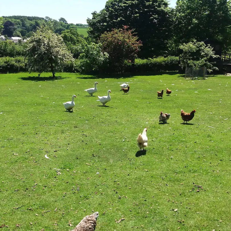 Hens and Geese in fields