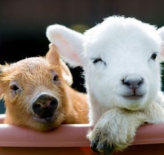 big sheep.jpg