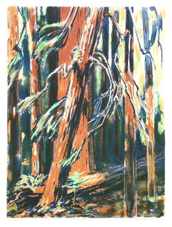 Redwoods, 1979