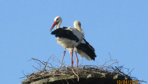 Neues Storchenpaar brütet in Kuhardt
