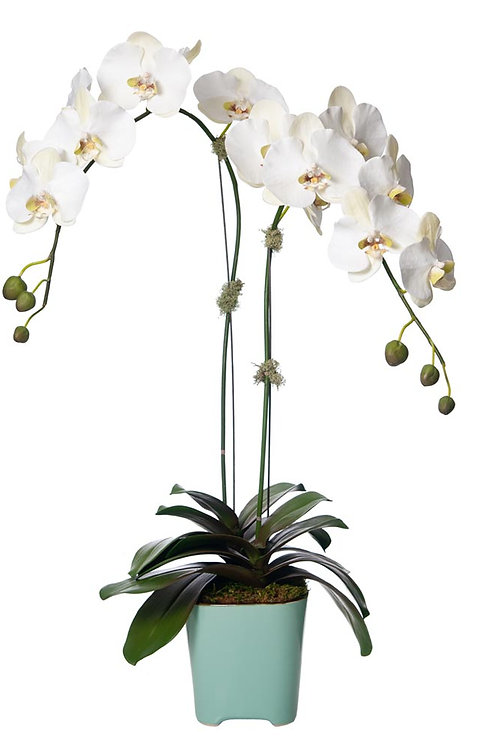 Double White Orchid Aqua