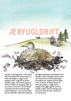 Edderfugl - ikke guide.png