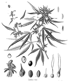 Cannabis_sativa_Koehler_drawing1_edited.