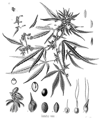 Cannabis_sativa_Koehler_drawing1_edited.