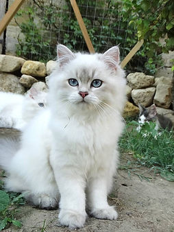 chaton british longhair blue golden shaded point
