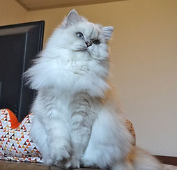 british longhair blue silver shaded point yeux bleus