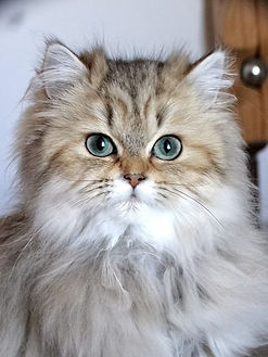 chaton british longhair yeux verts SOFA TIGERS 33 FRANCE
