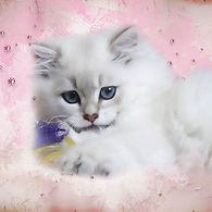 chaton british blue golden shaded point yeux bleus SOFA TIGERS 33 FRANCE