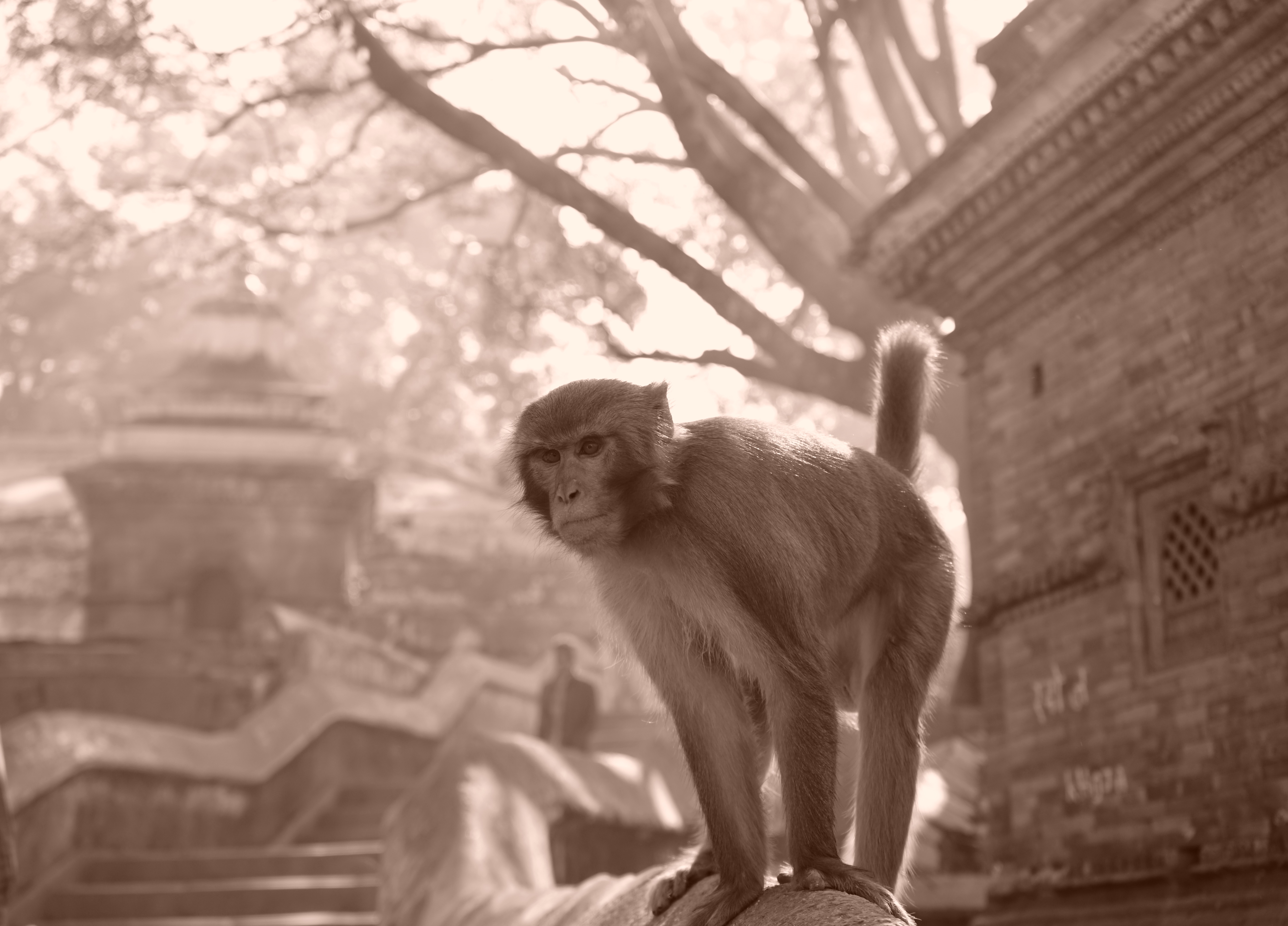 Pashupatinath Monkey