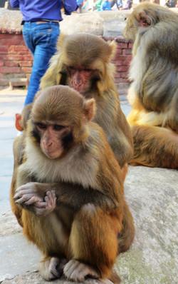 Family of Pashupatinath Monkeys