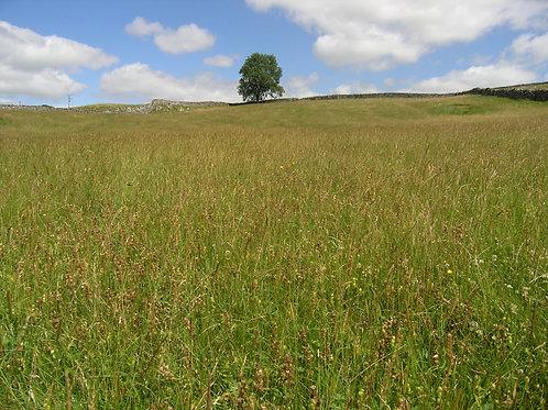 Grassland Meadow
