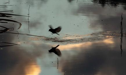 Skimming over pond