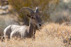 Female (ewe)