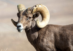 IS THAT A HORN OR AN ANTLER?