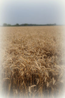 Wheat field near Goessel, KS | Goessel Museum