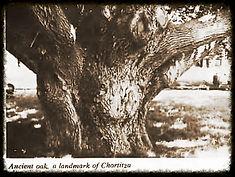 Ancient Historic Oak Tree in Chortitza, Ukraine
