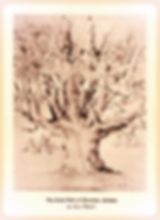 Sketch of HIstoric Oak Tree in Chortitza, Ukraine