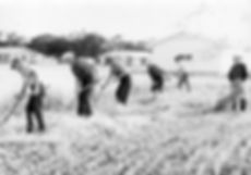 Men using scythes to cut wheat, Threshing Days