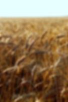 Wheat field near Goessel KS. | Goessel Museum