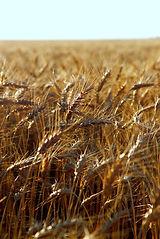 Wheat field near Goessel, KS | Goessel Musuem