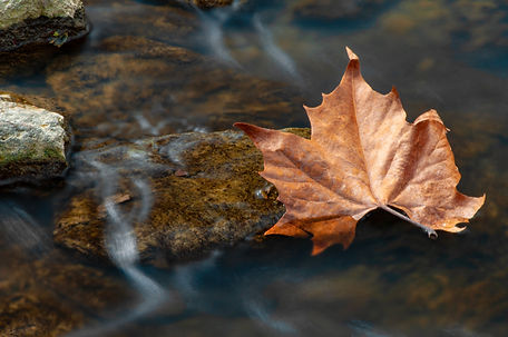 A Maple leaf falls from a tree into a cr