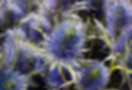 Thistle flower background.jpg