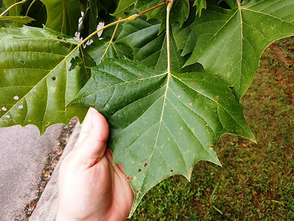 sycamore leaf top.jpg