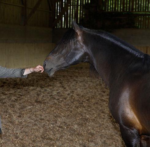 Cheval noir sentant une main tendue durant une séance d'équi-coaching