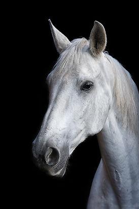 Tête de cheval gris sur fond noir