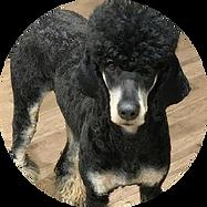 Female Poodle Token