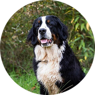 F-Bernese-NaLa-Circle2.png