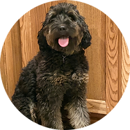 F-Mini Bernedoodle-Betty-Circle.png