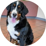 F-Bernese-Kira-Circle.png