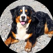Female Bernese Mountain Dog Daisy
