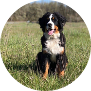 F-Bernese-Gwen-Circle.png