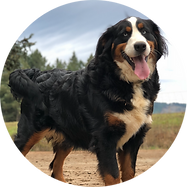 Female Bernese Mountain Dog Claire
