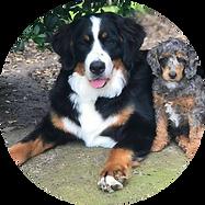 Female Bernese Mountain Dog Bonnie